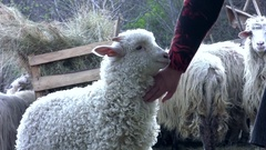 White lamb that stands to be caressed by a woman hand while the other sheep e Stock Footage
