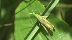 Young Grasshopper insect moves on green leaf on field among grass 4k Stock Footage