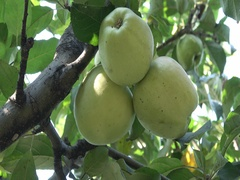 Apple Quince in the orchard Stock Footage