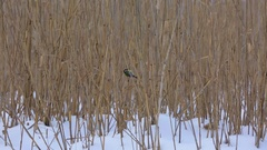 Blue tit birds in reed Stock Footage