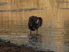 Egyptian Goose Bathing Stock Footage