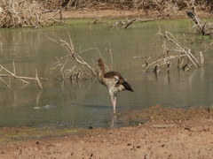 Egyptian Goose Drinking Stock Footage