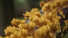 Golden mushrooms growing in tree Stock Footage