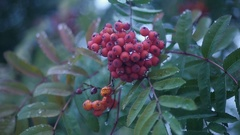 Of rowan berries and leaves close-up, HD Stock Footage