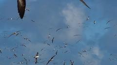 Black-browed Albatross in flight, Falkland Islands Stock Footage