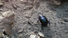 Tiny Scarab Beetle Scrambles over Rough Terrain. FullHD footage Stock Footage