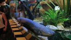The electric eel Electrophorus electricus . Dangerous fish in Malaysia Stock Footage