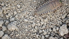 Firefly larva crawling over dry ground. FullHD footage Stock Footage