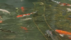 "Koi, nishikigoi, literally ""brocaded carp"" are ornamental varieties of Stock Footage"