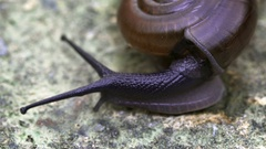 Garden Snail on a Rock in Extreme Closeup. FullHD footage Stock Footage