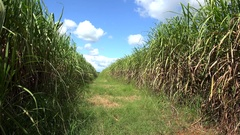 Sugar cane plantation (Saccharum officinarum). Cuba Stock Footage