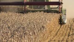 Harvesting process grain wheat field summer. Seasonal work. 4K Stock Footage