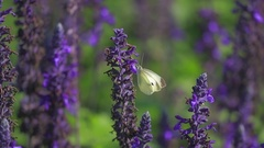 Butterfly on sage flowers Stock Footage