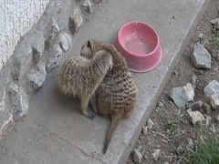 Cute Meerkat ,Suricata suricatta  Stock Footage