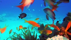 Underwater Colorful Tropical Fishes and Porcupine Fish Stock Footage