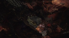 Head of Submerged Juvenile American Alligator in Everglades National Park Stock Footage