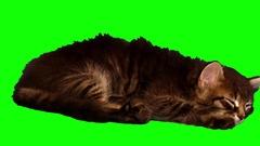 4k furry domestic kitten is sleeping Stock Footage