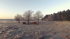 Highland cattle woolly cows winter aerial shot Stock Footage