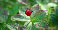 Solitary Bunchberry on a Wild Bush in the Forest. 4k footage Stock Footage