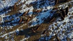 Aerial Overhead Shot of Bison Buffalo Herd on Prairie in Winter Snow Stock Footage
