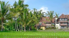Neat Rows of Rice on a Farm in Bali, Indonesia. Video 4k Stock Footage