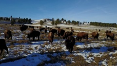 Low Level Aerial Overhead of Herd of Bison Buffalo in Great Plains in Winter Stock Footage