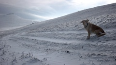 Golden Retriever Dog Sitting in Snow in Mountains, Windy Winter Landscape Stock Footage