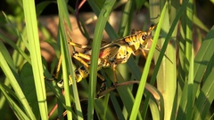 Eastern Lubber Grasshopper in Everglades National Park Stock Footage