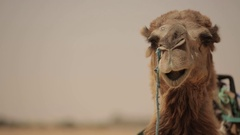 Dromedary before the water supply before leaving Stock Footage