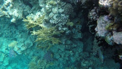 Chaetodon fasciatus swim among the coral reefs Stock Footage
