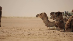 Dromedaries waiting to leave for a trip to the desert Stock Footage