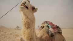 Dromedary at rest Stock Footage