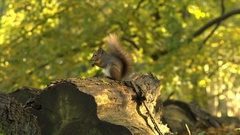 Red Squirrel eating on a fallen tree Stock Footage
