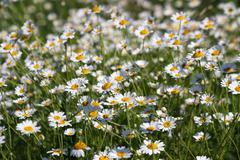 White chamomile flower field spring season Stock Photos