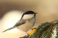 Willow tit on fir twig Stock Photos