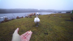 White swan eats from the man's hand near the lake in the wild, people feed birds Stock Footage