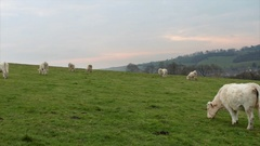 Cows grazing on a field. Normandy, France. Breed of large beef cattle. Stock Footage