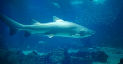 Amazing, Huge Sandtiger Shark - Carcharias Taurus Stock Footage