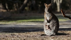 Female Wallaby kangaroo with baby joey looking out of pouch Stock Footage