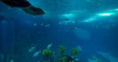 Lots Of Different Rays In A Huge Aquarium Stock Footage