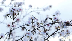 Spring. The flowering tree. Wild almond blossoms in Spain Stock Footage