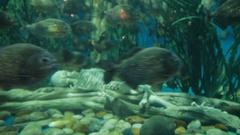 Piranha fish (Pygocentrus nattereri) floating in special aquarium with seaweed Stock Footage