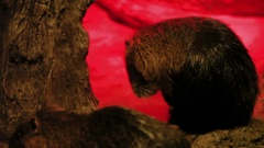 Pair of Asian Small-clawed Otters (Aonyx cinerea) in tank with special red light Stock Footage