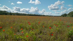 The landscape view of the flower field with the white clouds Stock Footage