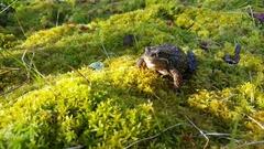 European common frog Stock Footage