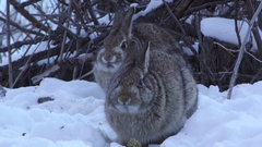4K of Cottontail Bunny Rabbits in Winter Snow by Brushpile Stock Footage