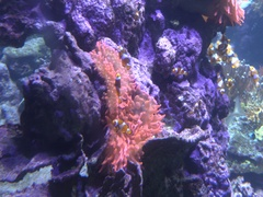 Anemone and clownfish Stock Footage