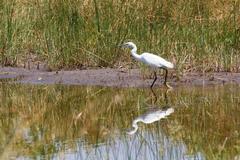 Bird Great egret, okavango, Botswana, Africa Stock Photos