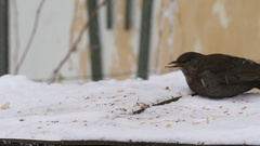 Slow motion with a blackbird and sparrows who eat grains and bread on a tray Stock Footage