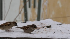 Slow motion with sparrows who eat grains and bread on a tray placed near a wa Stock Footage